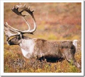 caribou_1