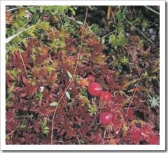 cranberry_bush