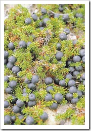 crowberry_1