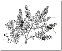 crowberry_b&w