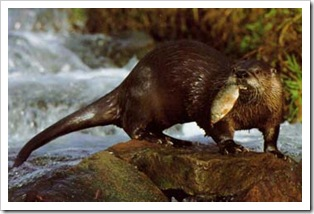 otter_holding_fish