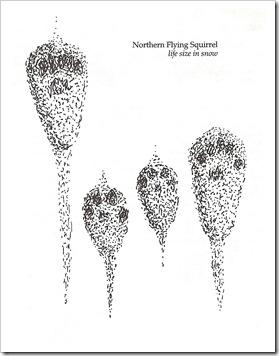 northern_flying_squirrel_tracks_b&w