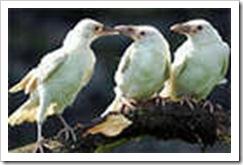3_white_ravens
