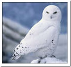 Archie Eclipse Snowy-owl-thumb1