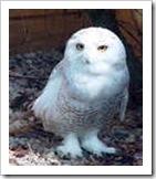 snowy_owl1